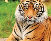 mydictionary tiger