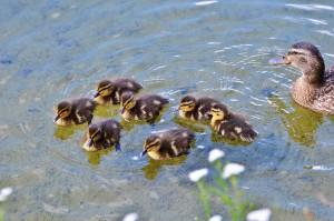 chicks-2416031_1280